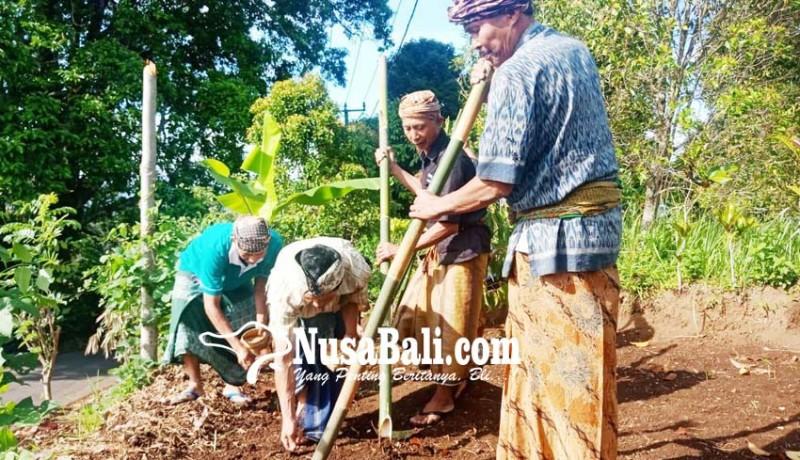 www.nusabali.com-setelah-47-tahun-tradisi-ngaga-di-desa-pedawa-kembali-digelar