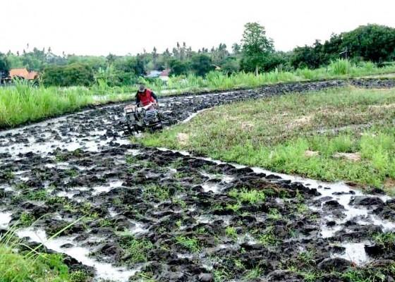Nusabali.com - desa-panji-anom-bangkitkan-padi-ketan-dan-injin