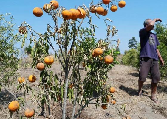 Nusabali.com - kekeringan-tanaman-jeruk-layu-dan-rontok