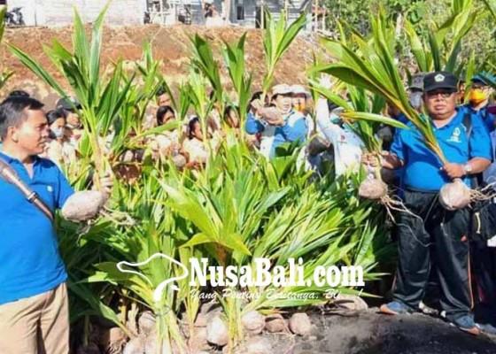 Nusabali.com - dinas-sosial-tanam-1000-kelapa-di-muntigunung