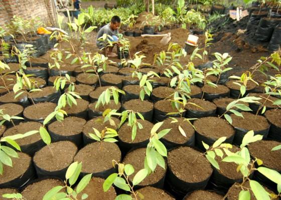 Nusabali.com - budidaya-bibit-durian