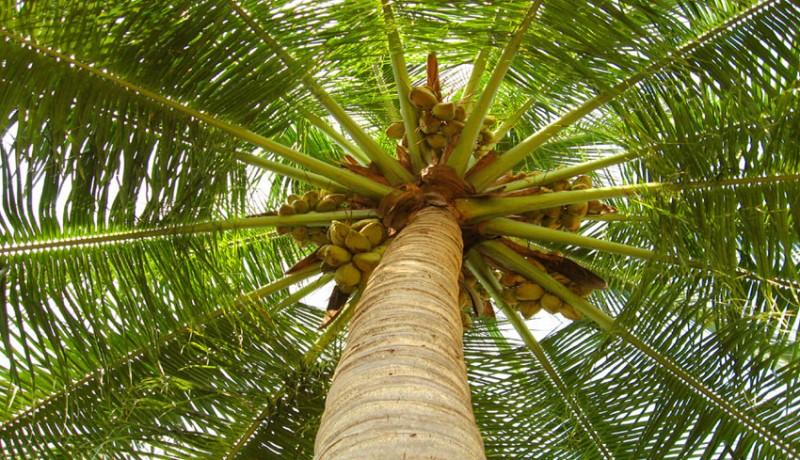 www.nusabali.com-cari-janur-di-pohon-kelapa-jatuh-hingga-kaki-patah