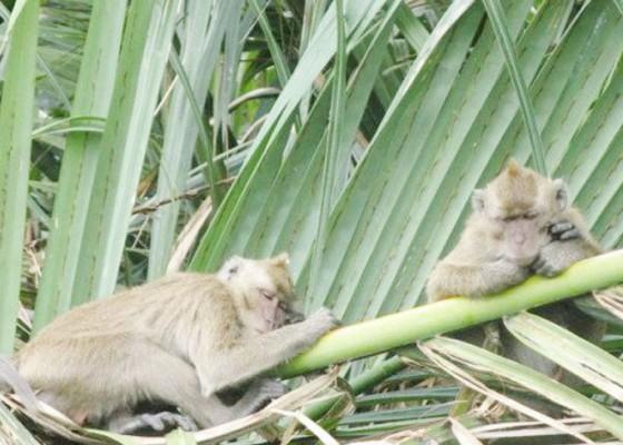 Nusabali.com - habitat-rusak-monyet-liar-serang-empat-balita