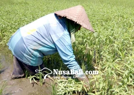Nusabali.com - jukut-gondo-dan-permainan-megandu-diusulkan-jadi-warisan-budaya-tak-benda
