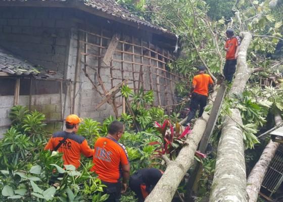 Nusabali.com - pohon-tumbang-timpa-dapur-dan-garase-mobil-motor-dan-6-atv-rusak