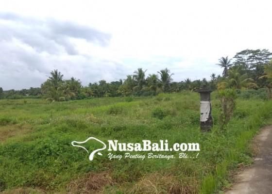 Nusabali.com - ribuan-petani-tak-bisa-bersawah