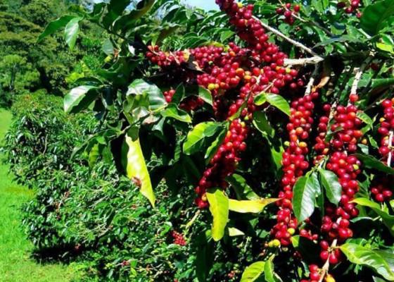 Nusabali.com - 700-hektare-pohon-kopi-diremajakan