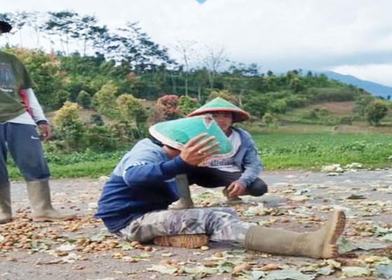 Nusabali.com - viral-petani-buang-kentang-dan-cabai-ke-jalan