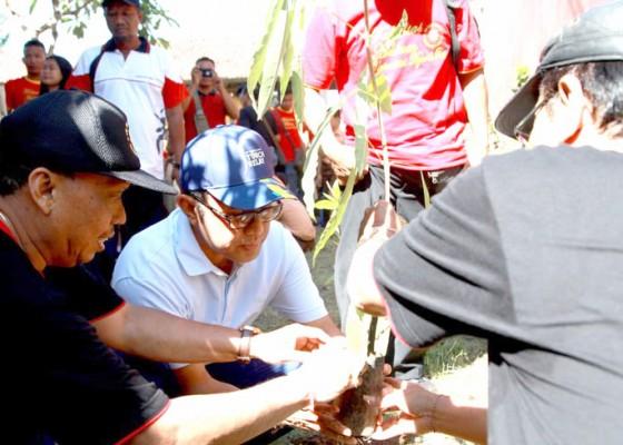Nusabali.com - jaya-negara-tanam-bibit-pohon-tebebuya-serangkaaian-baksos-unr