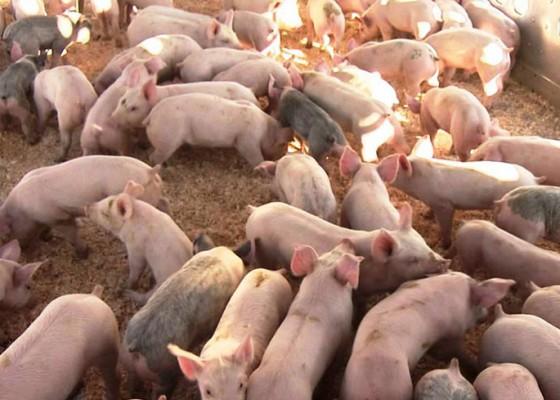 Nusabali.com - peternakan-babi-belum-laporkan-amdal