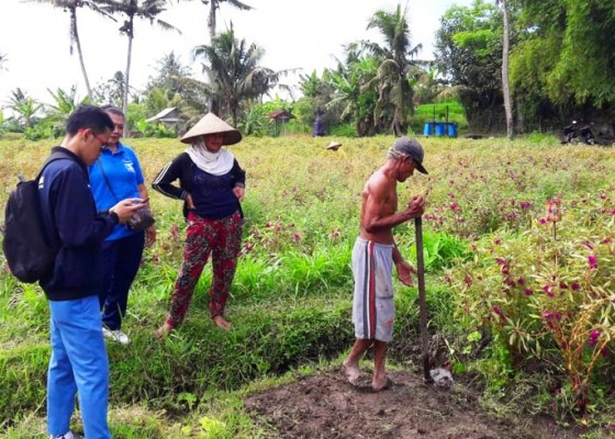 Nusabali.com - menakar-potensi-pertanian-padi-di-bali