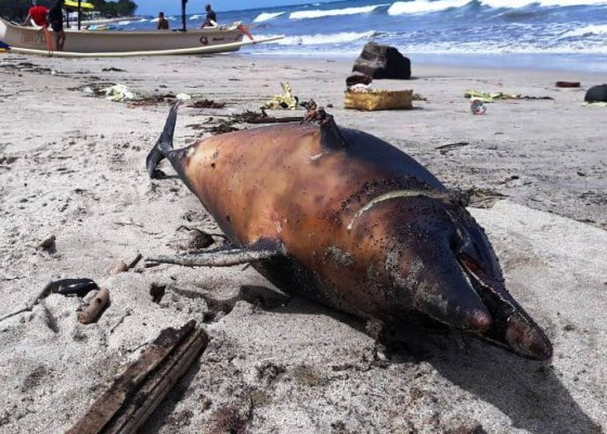 Nusabali.com - digulung-ombak-lumba-lumba-terdampar-mati-di-pantai-kuta