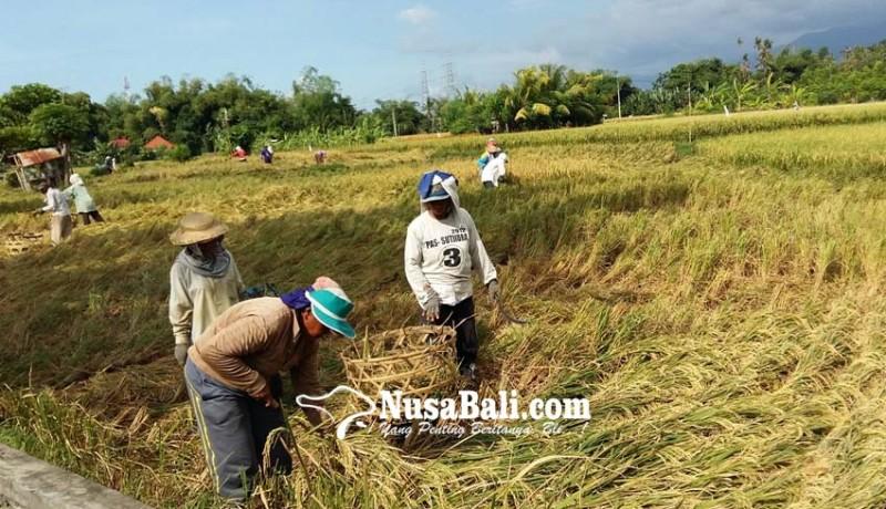www.nusabali.com-surplus-beras-buleleng-meningkat