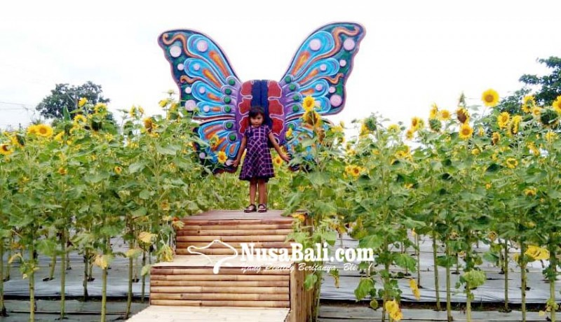 www.nusabali.com-hari-valentine-800-tangkai-bunga-matahari-terjual