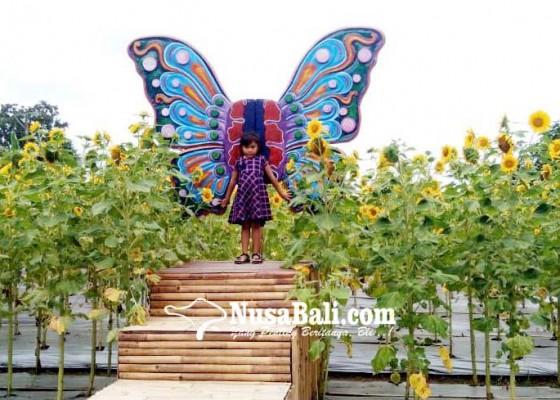 Nusabali.com - hari-valentine-800-tangkai-bunga-matahari-terjual
