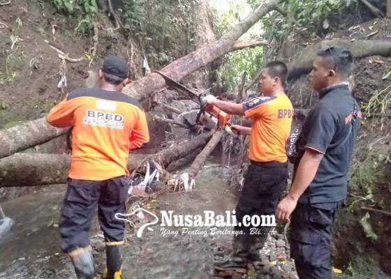 Nusabali.com - pohon-tumbang-timpa-permandian