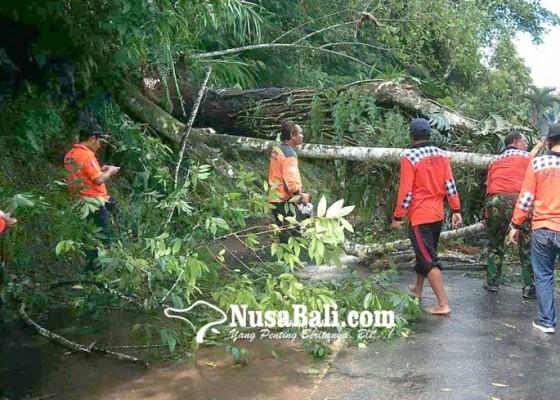 Nusabali.com - pohon-tumbang-arus-lalin-macet-1-jam