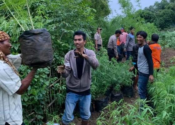 Nusabali.com - ladang-ganja-15-ha-di-lahan-perhutani