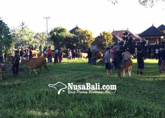 Nusabali.com - ritual-memilih-godel-untuk-upacara-tawur-kasanga