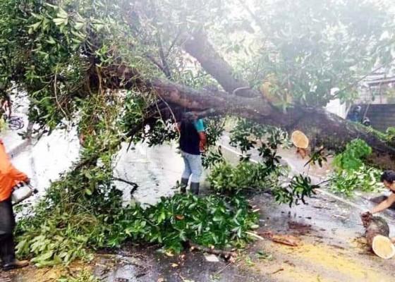Nusabali.com - pohon-nangka-tumbang-tutup-jalur-tabanan-penebel