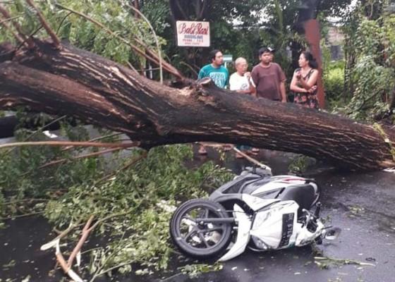 Nusabali.com - tabrak-pohon-tumbang-pemotor-terkapar