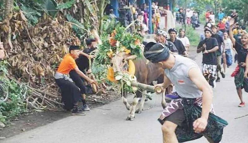 www.nusabali.com-tawur-di-telunwayah-diwarnai-pengarakan-sapi-jantan