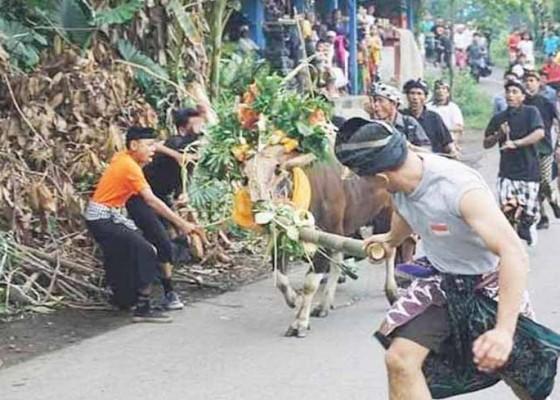 Nusabali.com - tawur-di-telunwayah-diwarnai-pengarakan-sapi-jantan