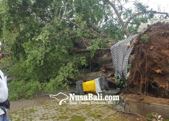 Nusabali.com - pohon-asam-keramat-roboh-semua-palinggih-di-utama-mandala-hancur