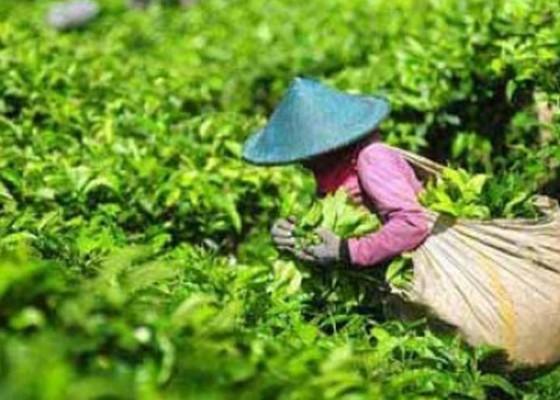 Nusabali.com - kadin-minta-kaji-bea-impor-teh