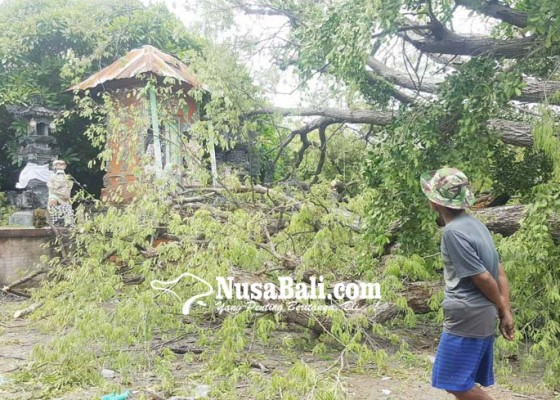Nusabali.com - pohon-keramat-di-pura-dalem-joanyar-kajanan-dibersihkan