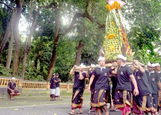 Nusabali.com - bojog-alas-kedaton-disuguhi-gebogan-25-meter