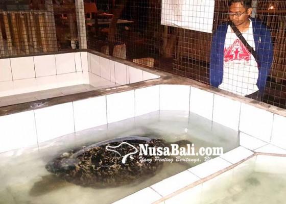 Nusabali.com - digagalkan-penyelundupan-penyu-di-gerokgak