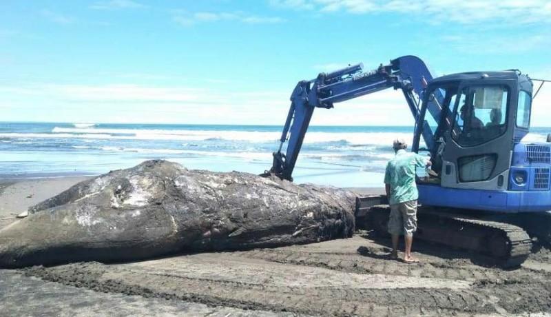 www.nusabali.com-sejumlah-bagian-tubuh-paus-terpotong