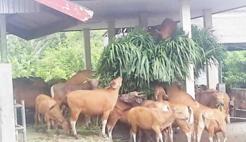 www.nusabali.com-90-ekor-sapi-bali-bakal-dibagikan-ke-kelompok-ternak