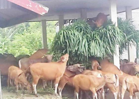 Nusabali.com - 90-ekor-sapi-bali-bakal-dibagikan-ke-kelompok-ternak
