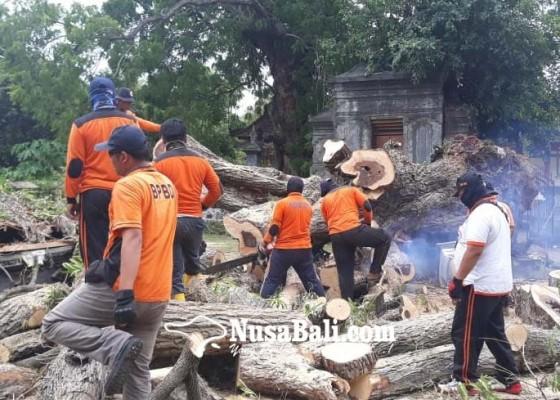 Nusabali.com - pohon-keramat-di-pura-dalem-joanyar-dibersihkan-bpbd