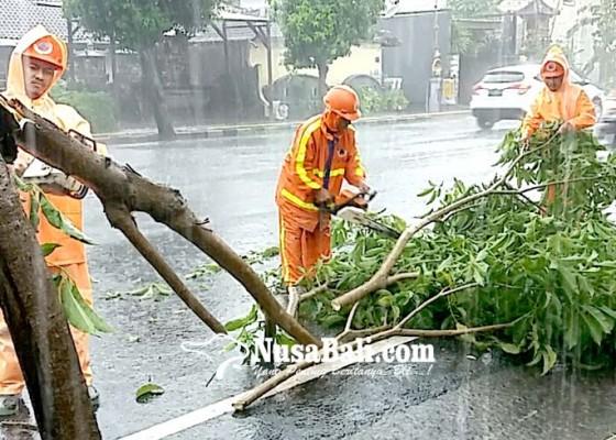 Nusabali.com - hujan-deras-tiga-pohon-tumbang-ke-jalan
