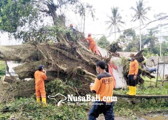 Nusabali.com - pohon-tumbang-timpa-panyengker-rumah