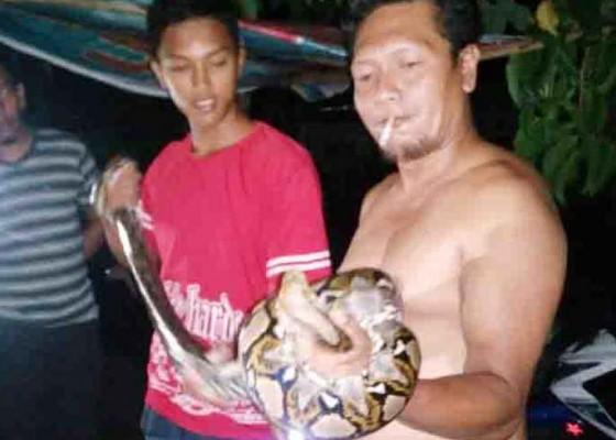 Nusabali.com - memangsa-ayam-ular-sanca-ditangkap-warga