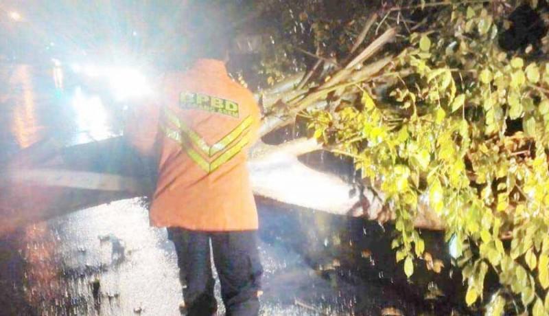 www.nusabali.com-lapuk-pohon-perindang-tumbang