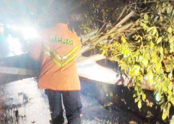 Nusabali.com - lapuk-pohon-perindang-tumbang