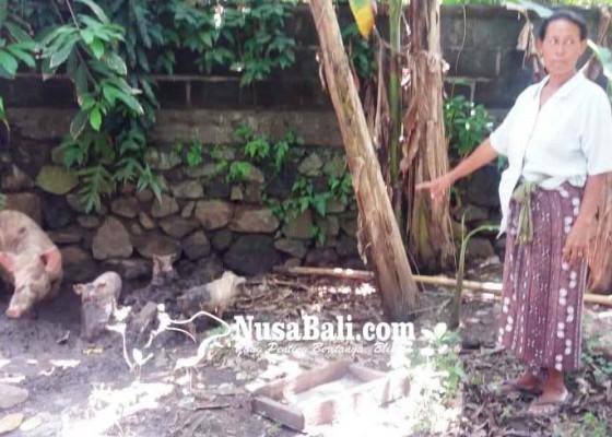 Nusabali.com - anjing-liar-memangsa-ternak-warga
