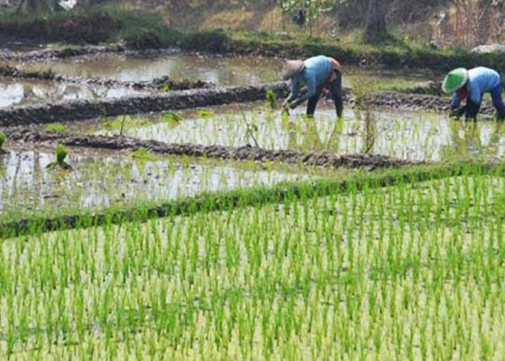 Nusabali.com - puluhan-hektare-sawah-terancam-gagal-tanam
