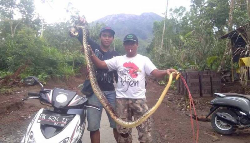 www.nusabali.com-krama-nangka-tangkap-ular-piton-25-meter