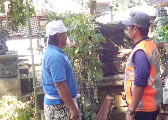 Nusabali.com - hujan-deras-pohon-tumbang-timpa-dua-palinggih