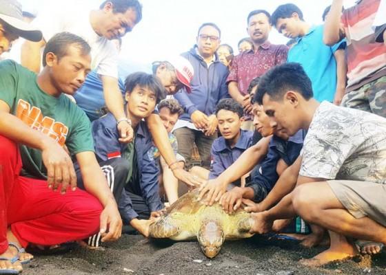 Nusabali.com - setelah-dirawat-3-pekan-penyu-selundupan-dilepas