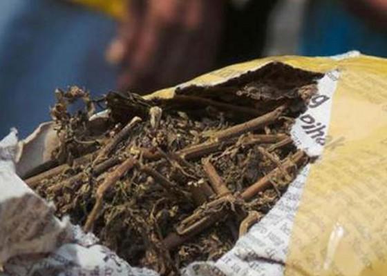 Nusabali.com - pemilik-25-kg-ganja-sidang-perdana