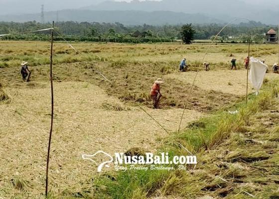 Nusabali.com - tingkatkan-hasil-penjualan-petani-didorong-jual-gabah