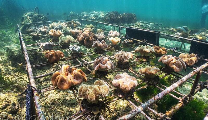 www.nusabali.com-menengok-350-bayi-koral-di-perairan-sanur-kauh
