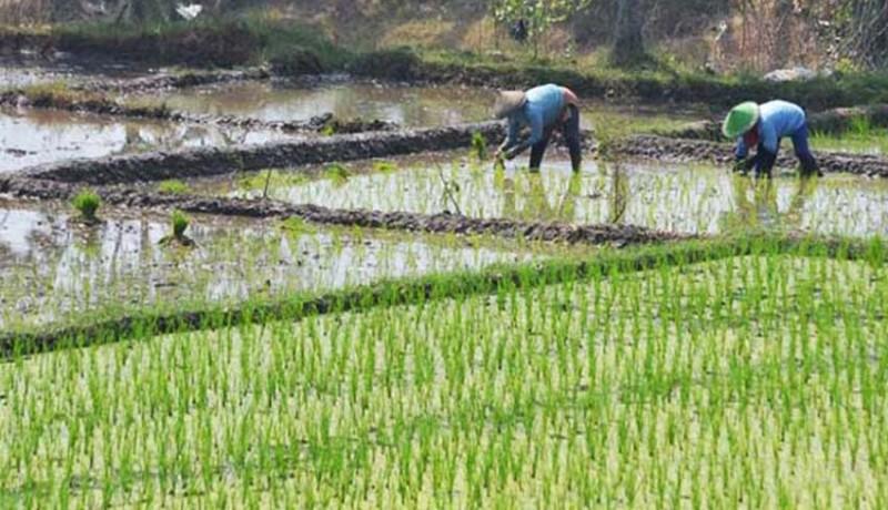 www.nusabali.com-lahan-persawahan-di-denpasar-menyempit-239-hektare